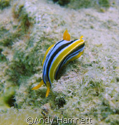 Nudibranch scared of heights?  by Andy Hamnett 